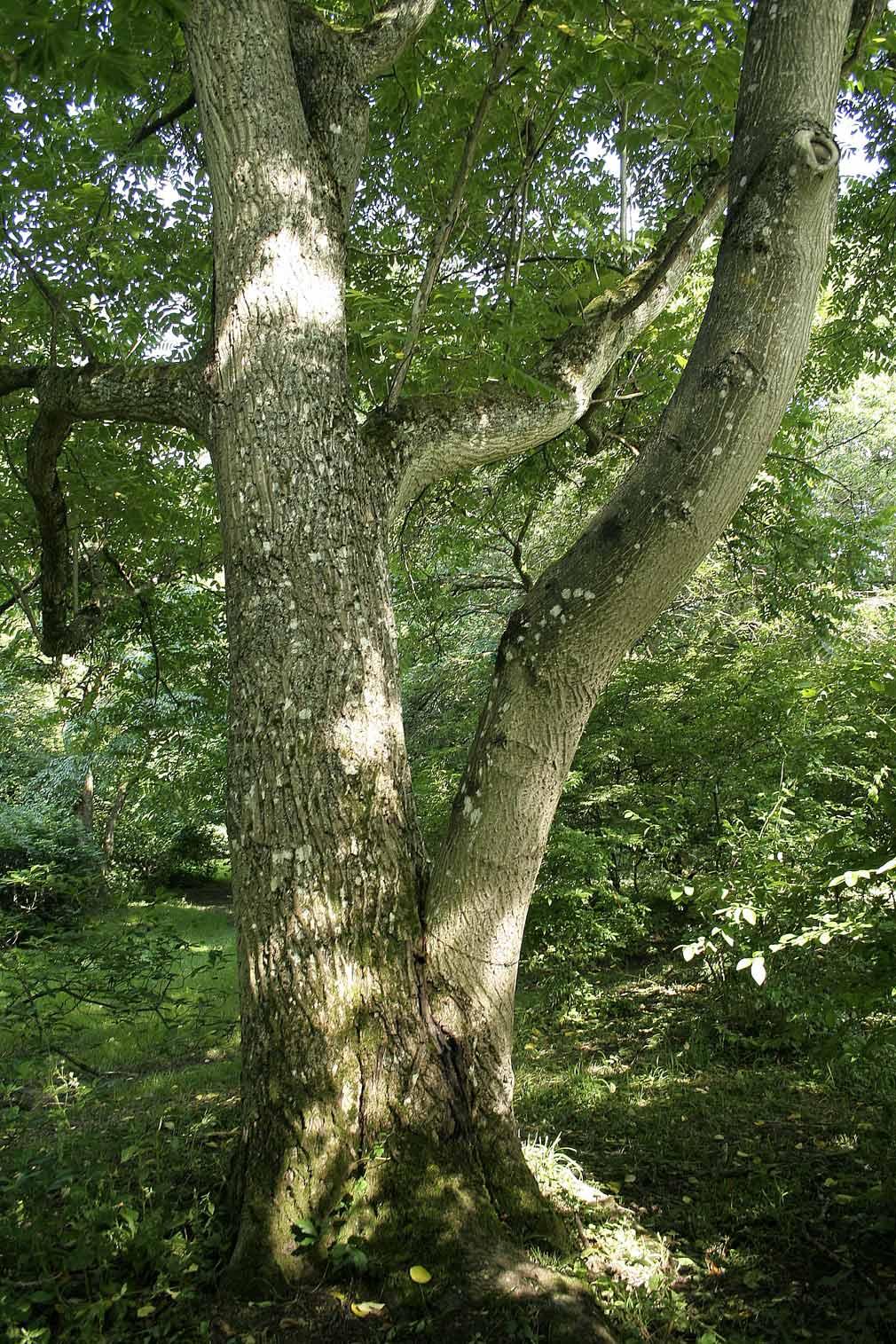 Корейский кедр: Богатство растительных кормов в широколиственных лесах