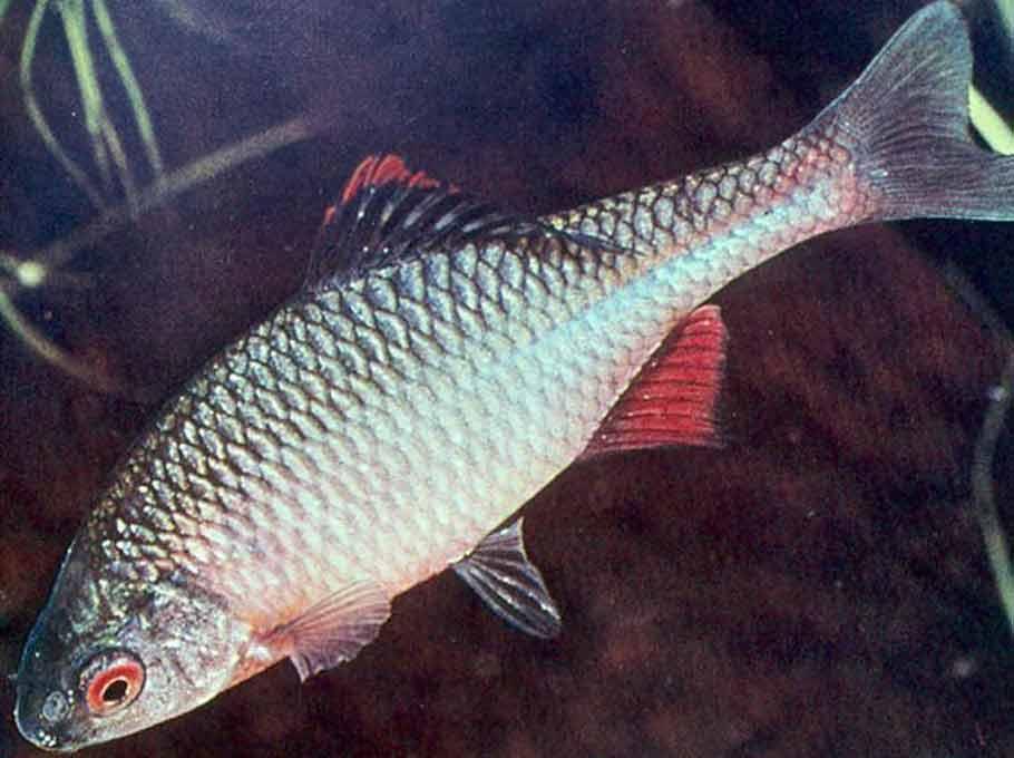 рыбка горчак видео