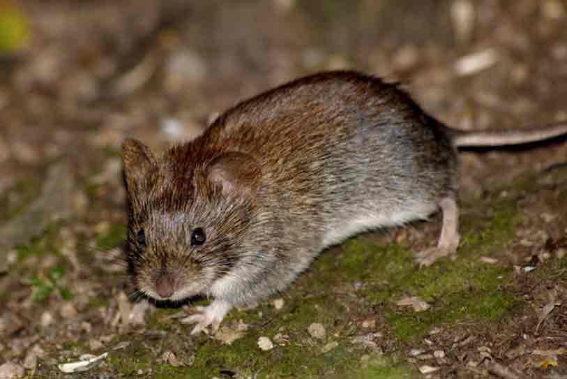 ... расширенного изображение Лесная мышь: www.zoogeo365.ru/taxon/509/lesnaya_mysh