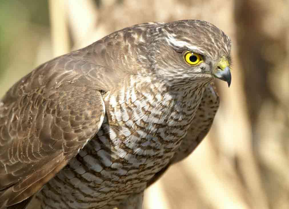 хищные птицы москвы фото и описание